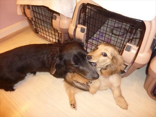 犬の保育園presea8犬(4)